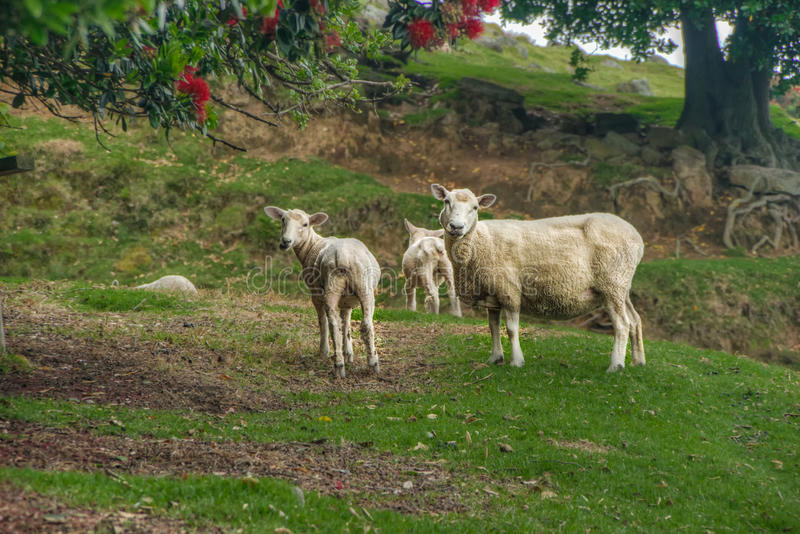 La famiglia della pecora fotografia stock