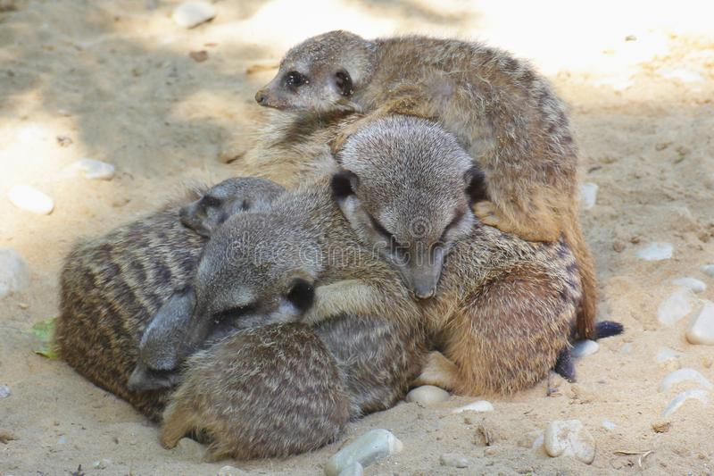 La famiglia di Meerkat si trova insieme immagine stock libera da diritti