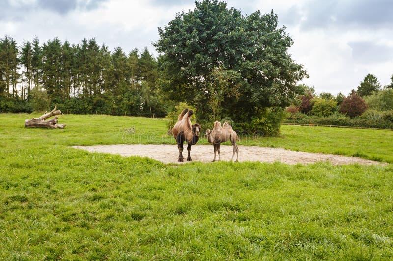 La familia de camellos imagen de archivo libre de regalías