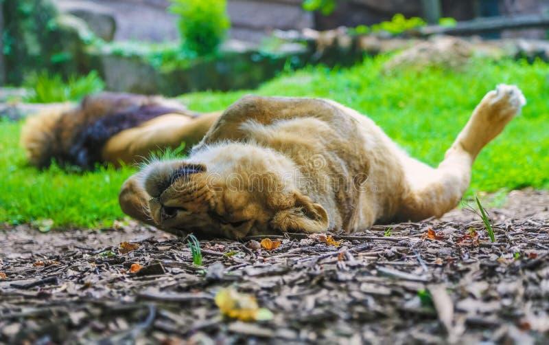 La familia de los leones duerme en una jaula imagen de archivo libre de regalías