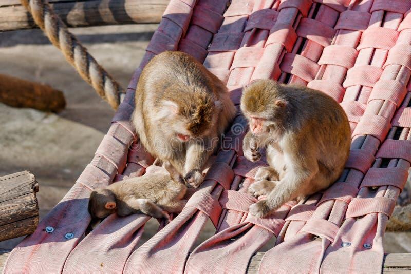 La familia de los monos se sienta en una hamaca en los árboles foto de archivo