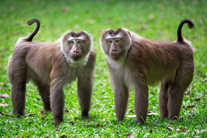 La familia de macaque con coletas en la naturaleza imagen de archivo libre de regalías