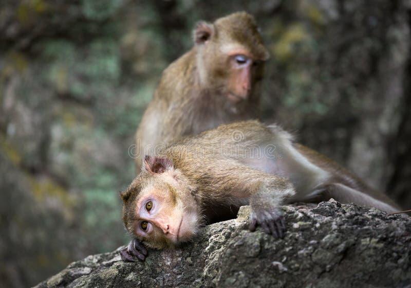 La familia de monos imagen de archivo