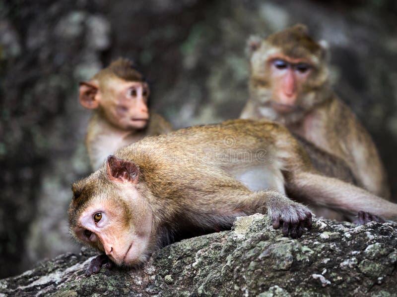 La familia de monos en la roca imagen de archivo libre de regalías