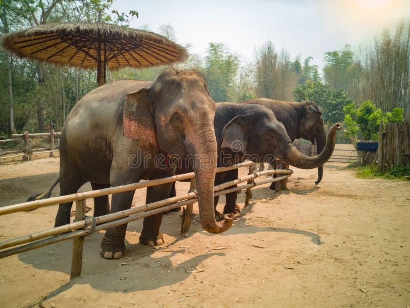 La familia del elefante es feliz en el pequeño corral de madera imagen de archivo libre de regalías