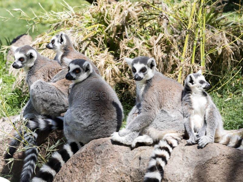 La famille Anneau-a coupé la queue le lémur, lémur Catta, avec des chiots photographie stock libre de droits