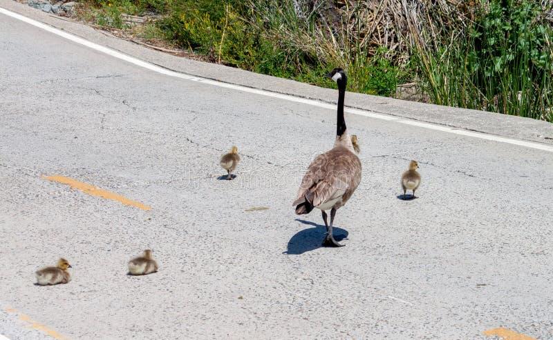 La famille d'oie du Canada croisant les oisons de la route 2 décident de s'arrêter et se reposer image libre de droits
