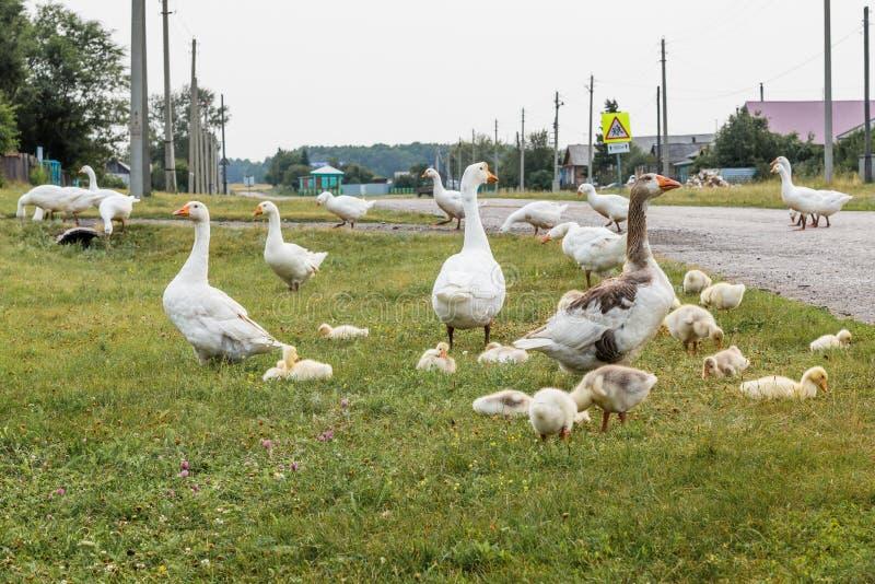 La famille d'oie marche par la rue de village Les adultes gardent des bébés image libre de droits