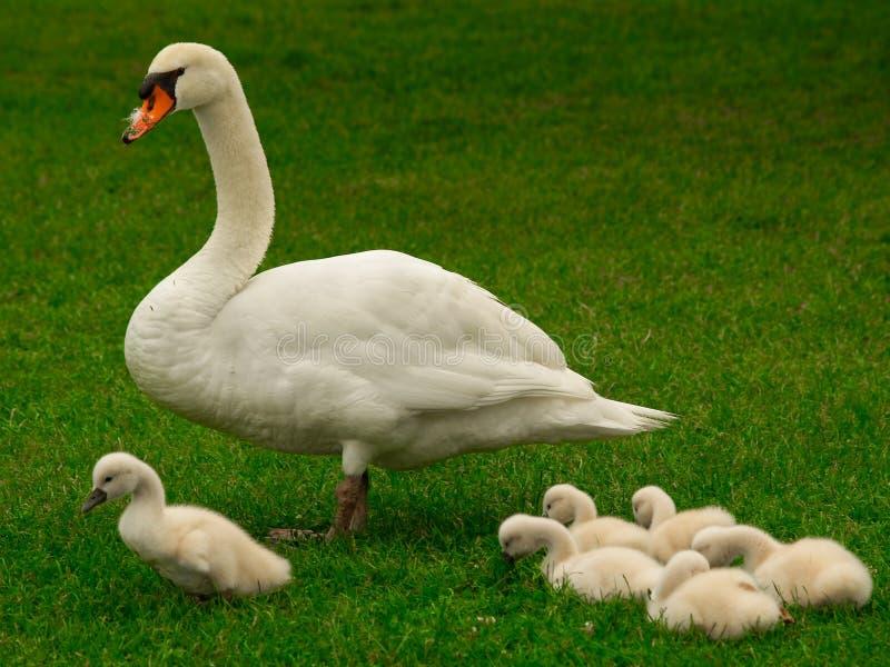 La famille de cygne images libres de droits