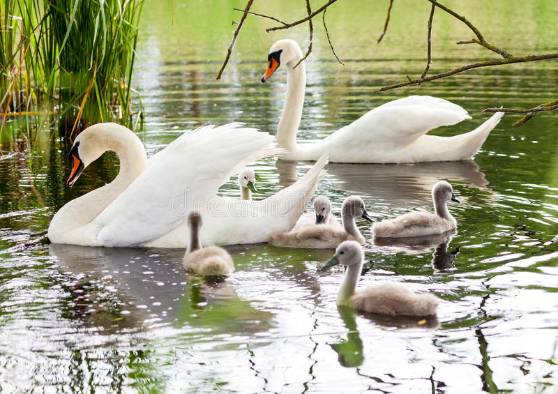 La famille de cygne nage dans un lac photographie stock