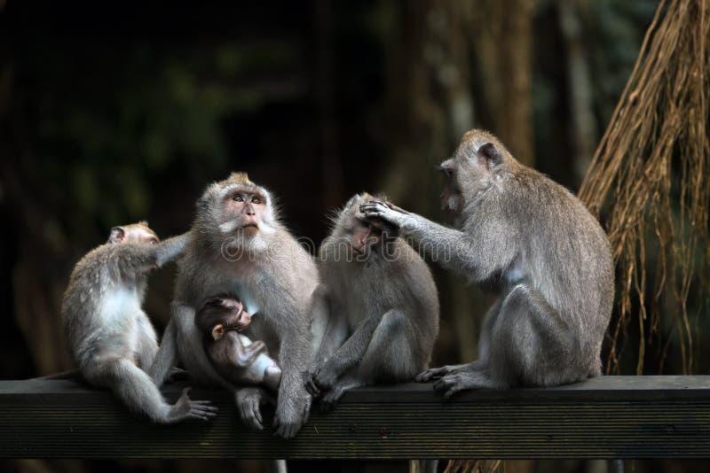 La famille de différents singes d'âges se repose sur une poutre en bois dans la jungle photo libre de droits