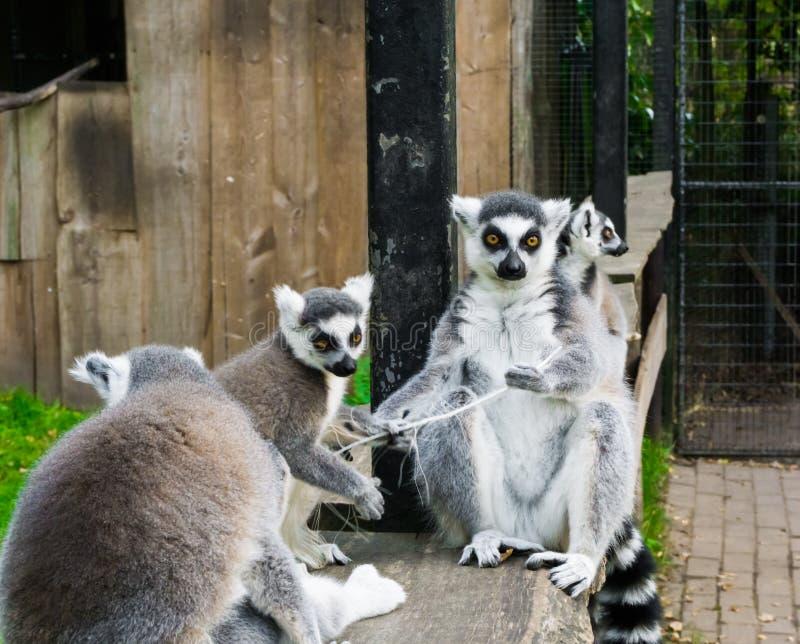 La famille de l'anneau a coupé la queue des lémurs se reposant ensemble, un groupe de singes mis en danger du Madagascar photographie stock libre de droits