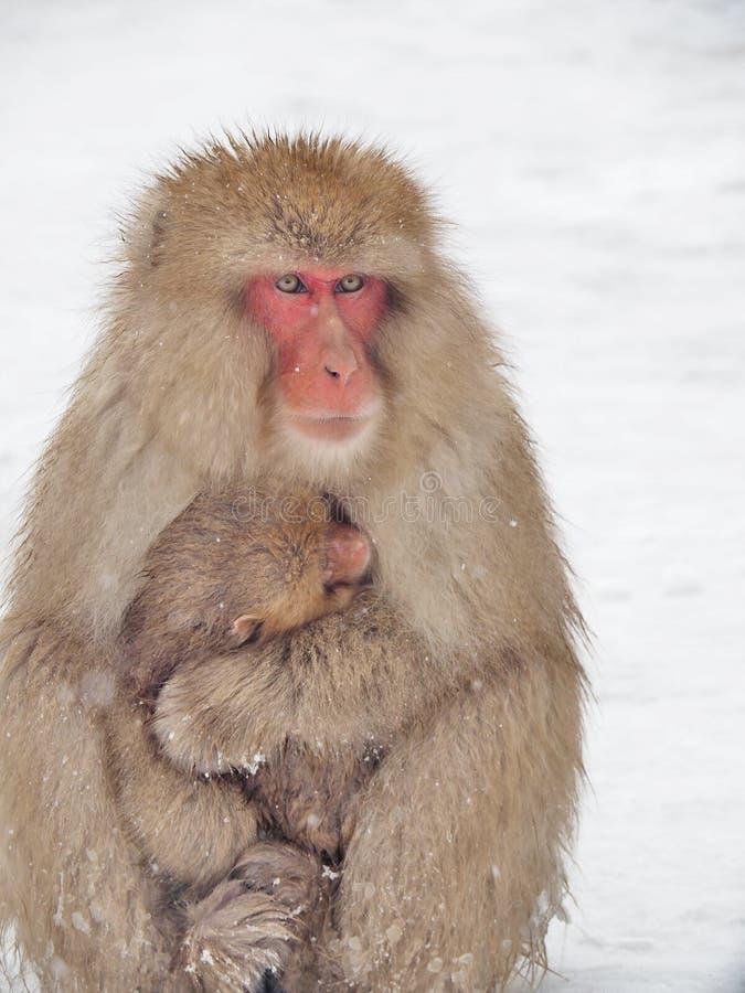 La famille des singes de neige, la maman et le bébé monkey photo stock