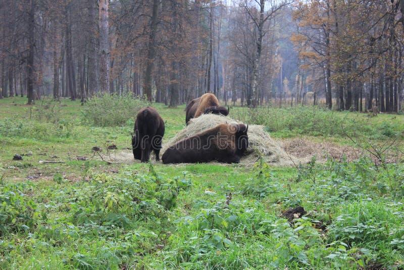 La famille du bison photo libre de droits