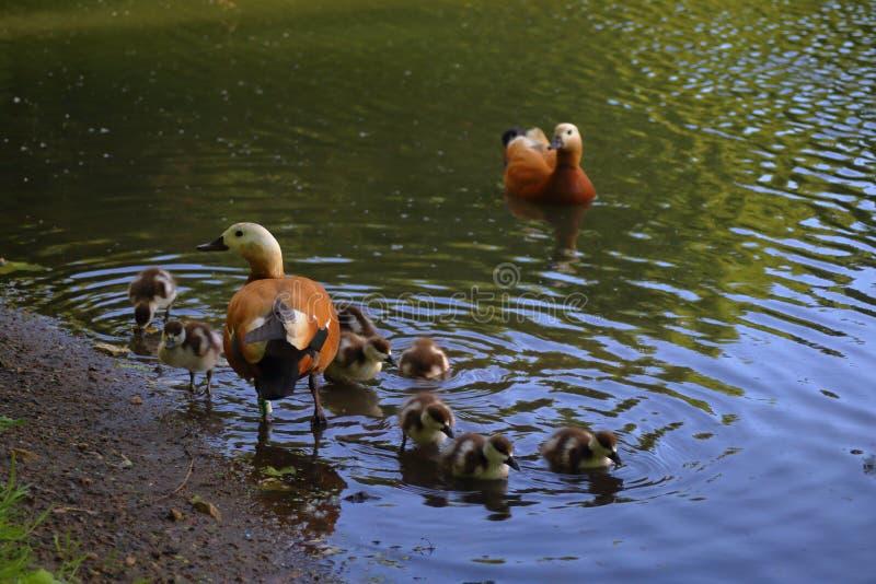 La famille vermeille de tadorne avec la jeune progéniture sur l'étang image libre de droits