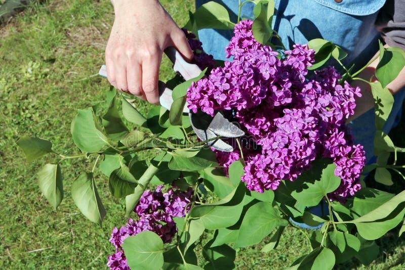La fan de jardinier fait la coupe du Br lilas de floraison de juin photo libre de droits