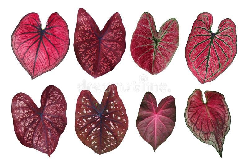 La fantaisie en forme de coeur a poussé des feuilles collection rouge de Caladium, le tropical photographie stock libre de droits