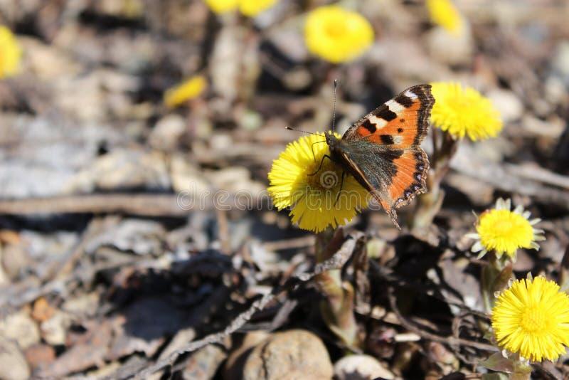 La farfalla è la prima fotografia stock