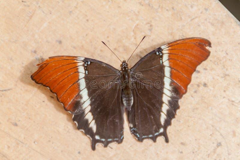 La farfalla Arrugginito-fornita di punta della pagina fotografia stock libera da diritti
