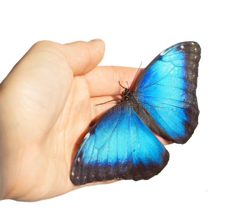 La farfalla blu di morpho sulla mano del ` s della ragazza è isolata su fondo bianco fotografia stock libera da diritti