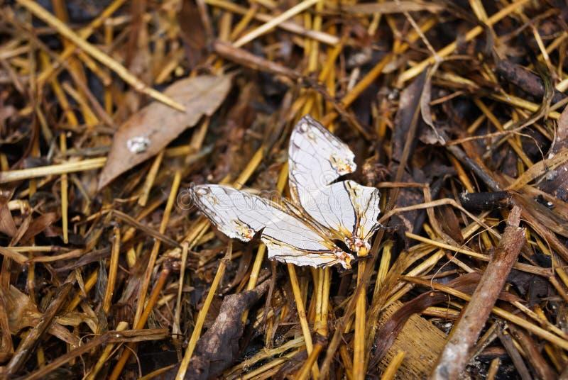 La farfalla comune della mappa (thyodamas di thyodamas di Cyrestis) immagini stock libere da diritti