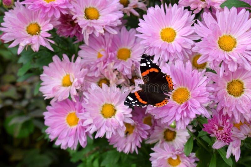 La farfalla di ammiraglio rosso sta sedendosi sui fiori fotografie stock