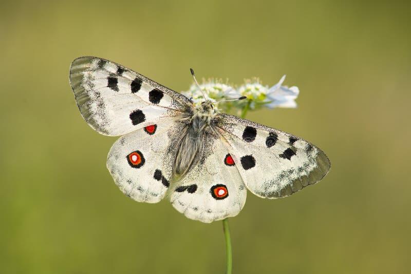 La farfalla di Apollo con le ali aperte su un fiore sopra agreen il backgroun immagine stock libera da diritti