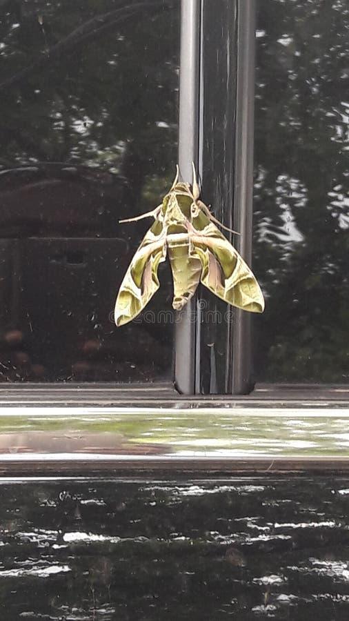 La farfalla di camou fotografia stock libera da diritti