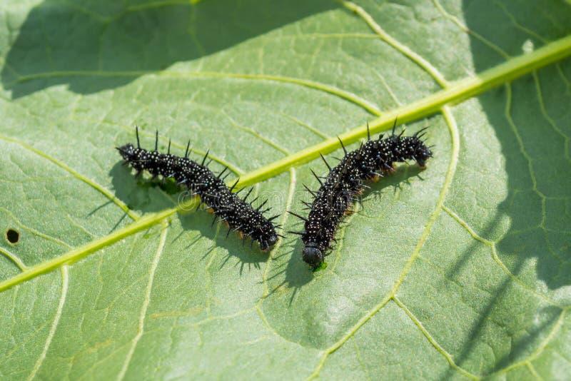La farfalla di Caterpillar di un occhio del ` s del pavone striscia su una foglia fotografie stock libere da diritti
