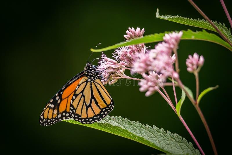 La farfalla di monarca Danaus plexippus poggiata su un fiore di semi di Joe Pye Eutrochium purpureum fotografia stock