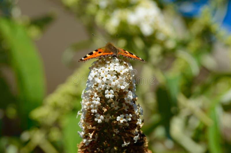 La farfalla di monarca sul cespuglio pronto per decolla immagine stock