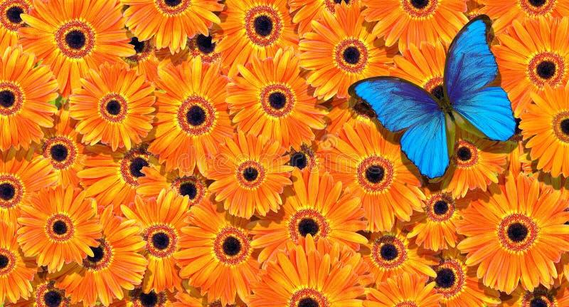 La farfalla di Morpho e le gerbere arancio luminose strutturano il fondo Priorità bassa floreale Fondo arancio naturale fotografie stock libere da diritti