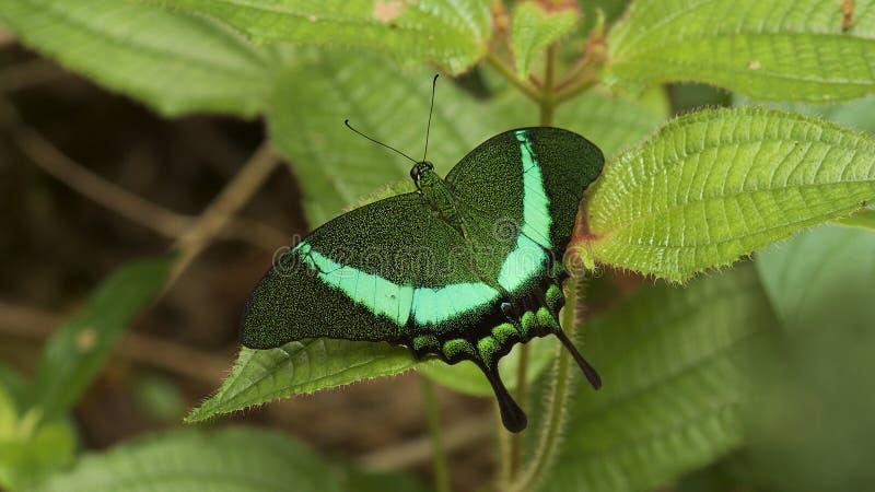 La farfalla di pavone legata immagini stock libere da diritti