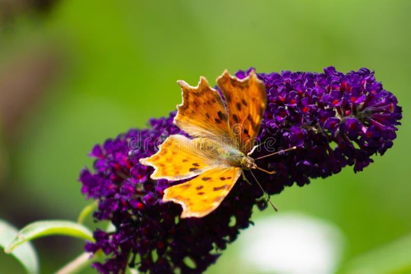 La farfalla di virgola su un fiore porpora fotografia stock