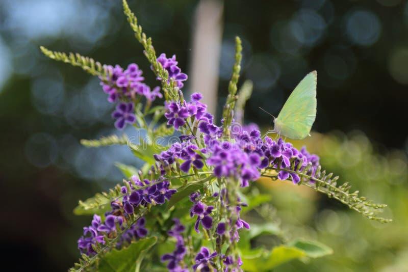 La farfalla gialla prende i fiori porpora fotografie stock libere da diritti