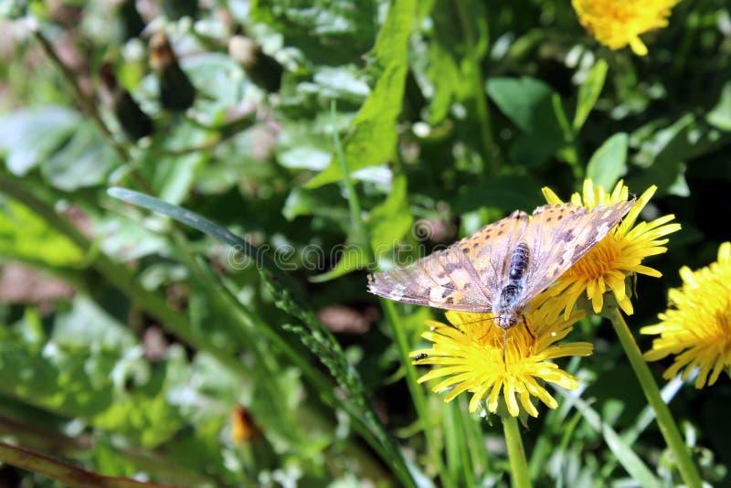 La farfalla raccoglie il nettare da un dente di leone giallo fotografia stock libera da diritti