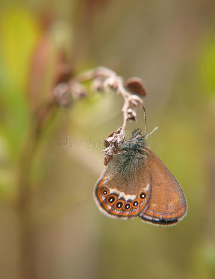 La farfalla scarsa della brughiera appende su una pianta Priorità bassa vaga immagine stock