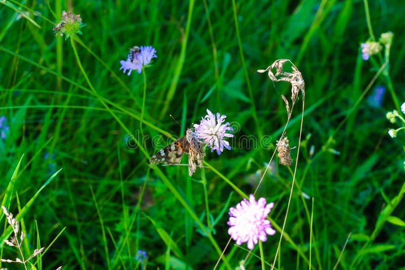 La farfalla si è seduta su un fiore in un prato fra l'erba fotografia stock