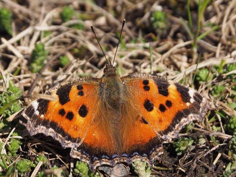 La farfalla si è seduta sull'erba in primavera fotografia stock libera da diritti