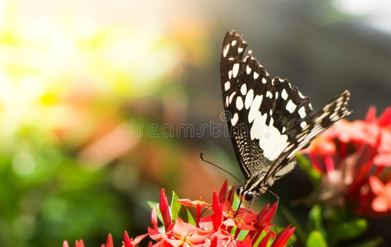 La farfalla sta succhiando la forma del miele i fiori sugli ambiti di provenienza vaghi immagine stock libera da diritti