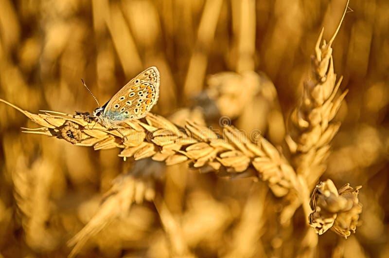 La farfalla sta sul grano fotografie stock