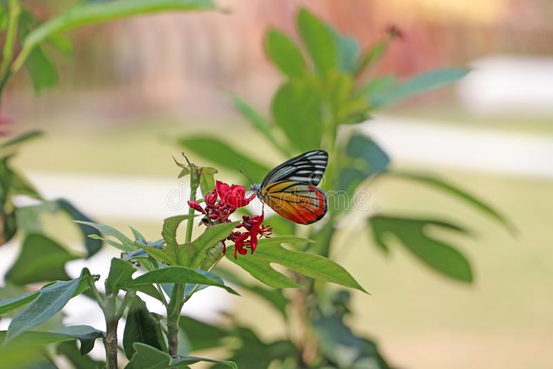La farfalla sui fiori rossi con il fondo verde della natura della sfuocatura fotografia stock