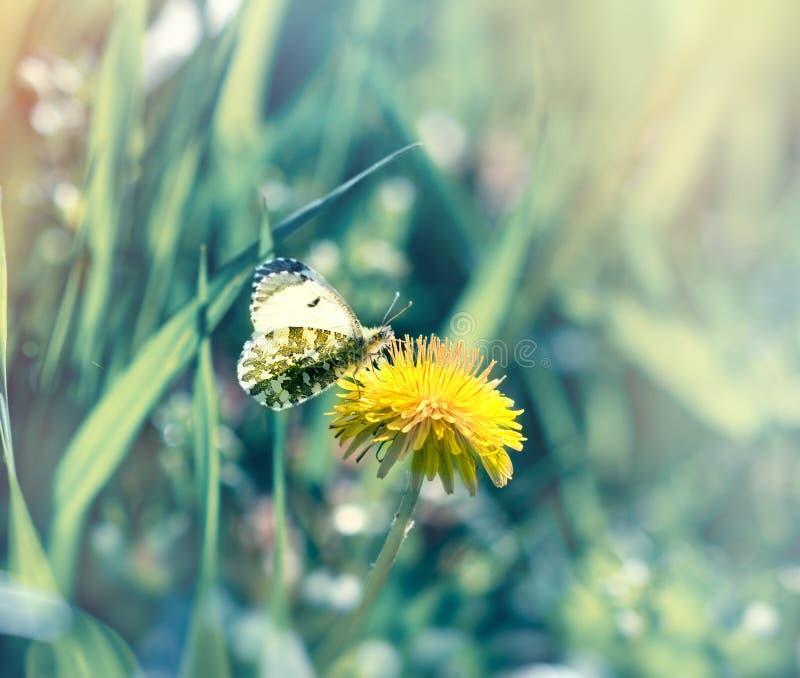 La farfalla sul fiore del dente di leone raccoglie il nettare ed il polline immagine stock libera da diritti