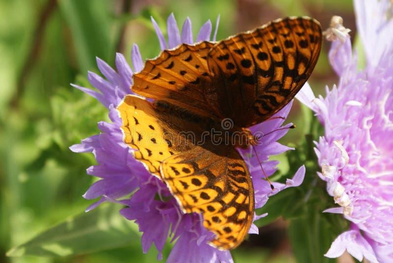 La farfalla trova il fiore giusto per alimentarsi! immagini stock