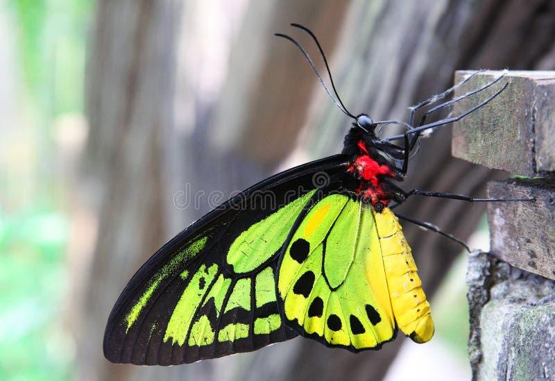 La farfalla variopinta fotografie stock