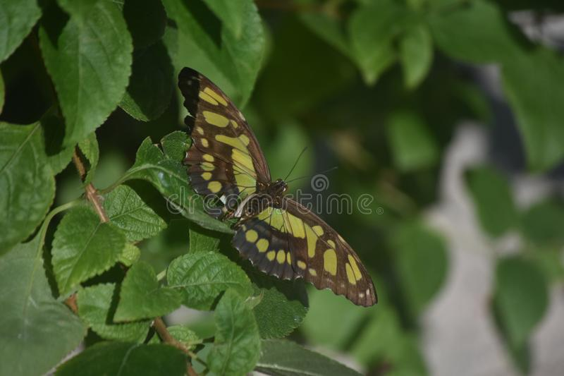 La farfalla verde e nera della malachite con le ali si apre fotografie stock