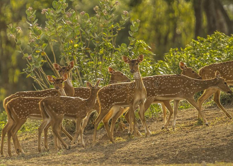 La fauna selvatica dorata immagine stock