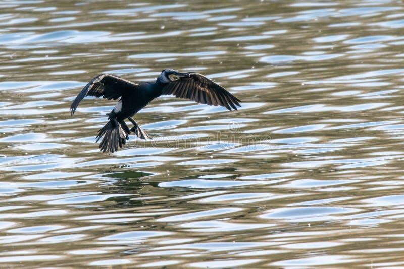 La fauna selvatica e la natura come Phalacrocoracidae del cormorano entra in terra sull'acqua immagini stock