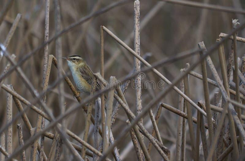 La fauvette de carex ou le schoenobaneus d'Acrocephalus est un oiseau d'insectivouros photographie stock libre de droits