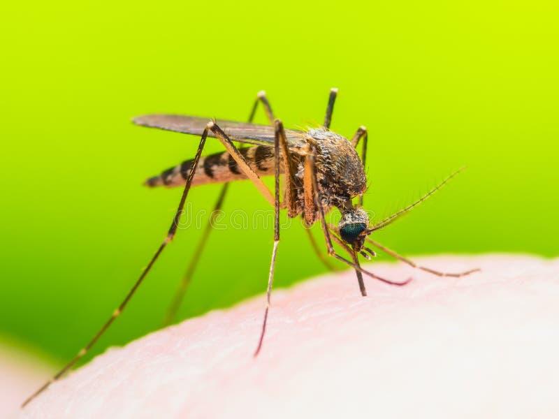 La febbre gialla, la malaria o il virus di Zika hanno infettato la macro dell'insetto della zanzara su fondo verde fotografia stock libera da diritti